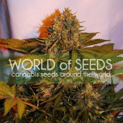 Auto Northern Light x Big Bud feminized, World of Seeds