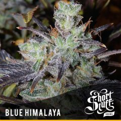 семена конопли сорт Blue Himalaya Auto feminized, Short Stuff Seedbank