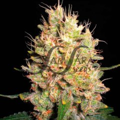 семена конопли сорт Crazy Miss Hyde feminized, Samsara Seeds