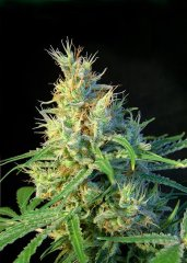 семена конопли сорт Psicodelicia SWS07 feminized, Sweet Seeds