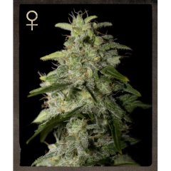 семена конопли сорт Money Maker feminized, Strain Hunters
