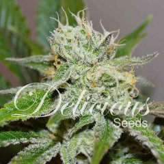 Original Juan Herer feminized, Delicious Seeds