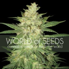 семена конопли сорт Auto Sweet Coffee Ryder feminized, World of Seeds