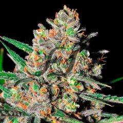 семена конопли сорт Green Love Potion feminized, Samsara Seeds
