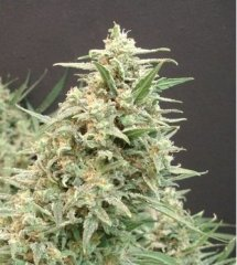 Snow White Amsterdam feminized, Amsterdam Seeds