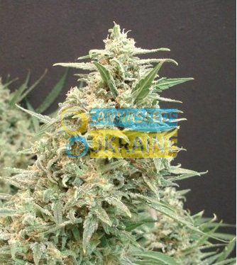 семена конопли сорт Snow White Amsterdam feminized, Amsterdam Seeds