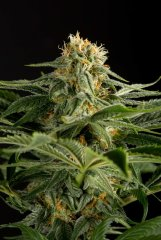 семена конопли сорт California Hash Plant feminized, Dinafem Seeds