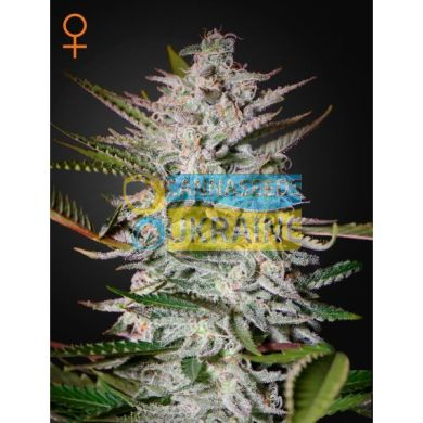 Holy Punch Feminised, Green House Seeds