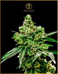 White Widow feminised, Anaсonda Seeds
