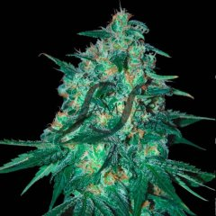 семена конопли сорт Jekyll Passion feminized, Samsara Seeds