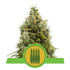 семена конопли сорт Auto Royal AK feminized, Royal Queen Seeds