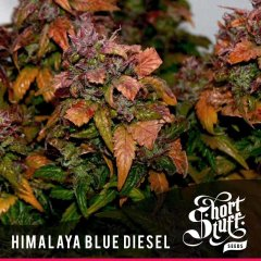 семена конопли сорт Himalaya Blue Diesel Auto feminized, Short Stuff Seedbank