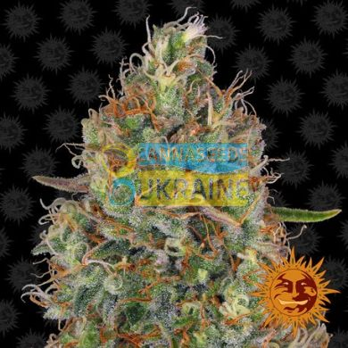 семена конопли сорт Auto Sweet Tooth feminised, Barney's Farm