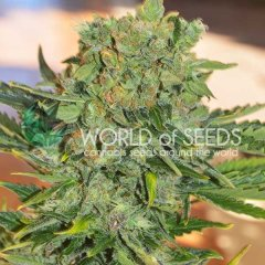 Auto Tonic Ryder feminized, World of Seeds