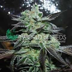 Strawberry Blue feminized, World of Seeds
