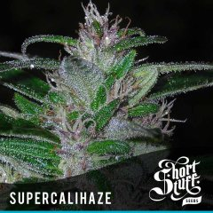семена конопли сорт Super Cali Haze Auto feminized, Short Stuff Seedbank