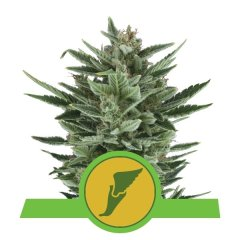 семена конопли сорт Auto Quick One feminized, Royal Queen Seeds