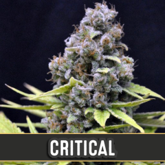 семена конопли сорт Critical Automatic feminized, Blimburn Seeds