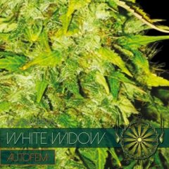 семена конопли сорт Auto White Widow feminized, Vision Seeds
