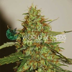 Auto Wild Thailand Ryder feminized, World of Seeds