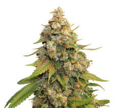 семена конопли сорт GOLDEN LEMON HAZE FEMINIZED, Seedstockers