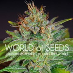 Skunk 47 feminized, World of Seeds