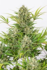 семена конопли сорт Auto Critical Cheese feminized, Dinafem Seeds