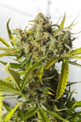 семена конопли сорт Auto Blue Critical feminized, Dinafem Seeds
