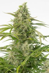 семена конопли сорт Auto Cheese CBD feminized, Dinafem Seeds
