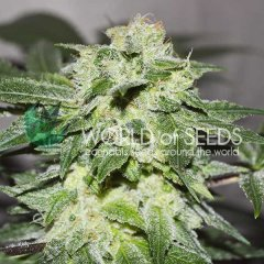 Chronic Haze feminized, World of Seeds