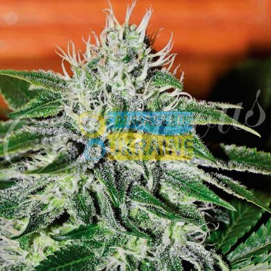 семена конопли сорт Critical Jack Herer feminized, Delicious Seeds