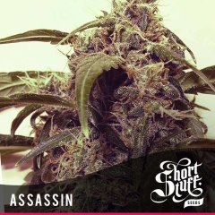 семена конопли сорт Auto Assassin feminized, Short Stuff Seedbank