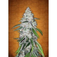 семена конопли сорт Auto West Coast OG feminized, Fast Buds
