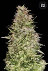 семена конопли сорт Auto White Prussian feminized, Bulk Seed Bank