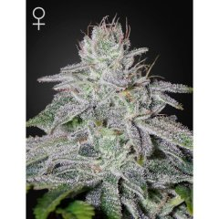 семена конопли сорт Francos Lemon Cheese Feminised, Green House Seeds