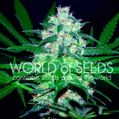 Pakistan Valley feminized, World of Seeds