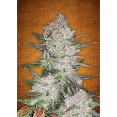 семена конопли сорт Auto Cream Cookies feminized, Fast Buds