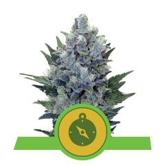 семена конопли сорт Auto Northern Light feminized, Royal Queen Seeds