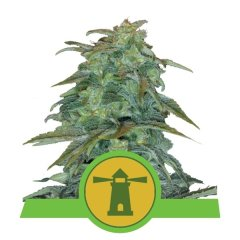семена конопли сорт Auto Royal Haze feminized, Royal Queen Seeds