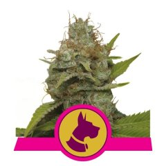 семена конопли сорт Kali Dog feminized, Royal Queen Seeds