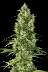 семена конопли сорт Santa Sativa feminized, Dinafem Seeds