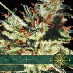 семена конопли сорт Auto Delhi Cheese feminized, Vision Seeds