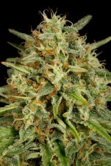 семена конопли сорт Strawberry Amnesia feminized, Dinafem Seeds