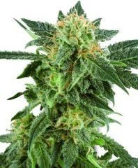семена конопли сорт Snow Ryder Auto feminized, Sensi White Label