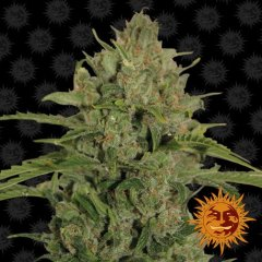 семена конопли сорт Triple Cheese Feminised, Barney's Farm