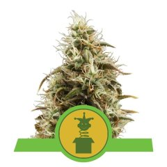 семена конопли сорт Auto Royal Jack feminized, Royal Queen Seeds