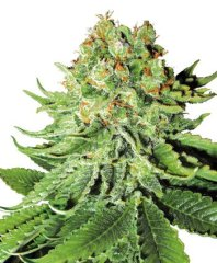 семена конопли сорт Northern Lights Automatic feminized, Sensi White Label