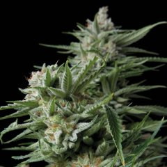 семена конопли сорт Sweet Madness feminized, Trikoma Seeds