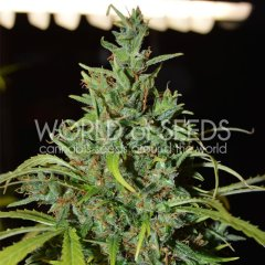 Auto Neville Haze feminized, World of Seeds