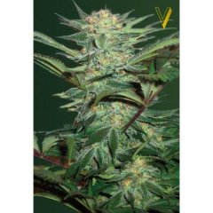 семена конопли сорт Auto White Widow feminized, Victory Seeds